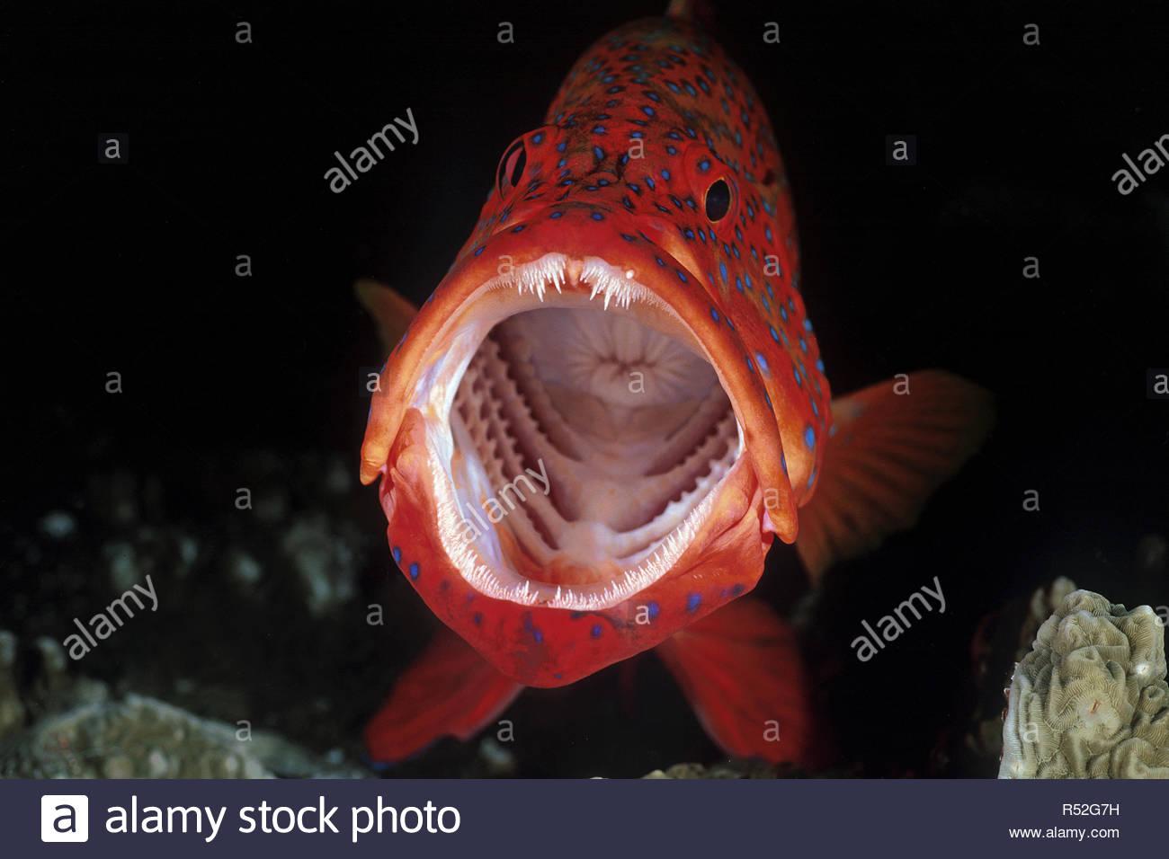 Coral hind or Coral rock cod (Cephalopholis miniata), open mouth, Ari-Atoll, Maldive islands - Stock Image