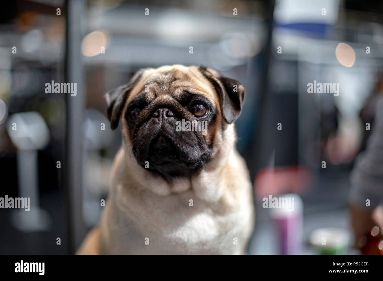 Lovely pug with blinking eye is sitting in front of a shopwindow in a shopping street waiting for his owner. - Stock Image