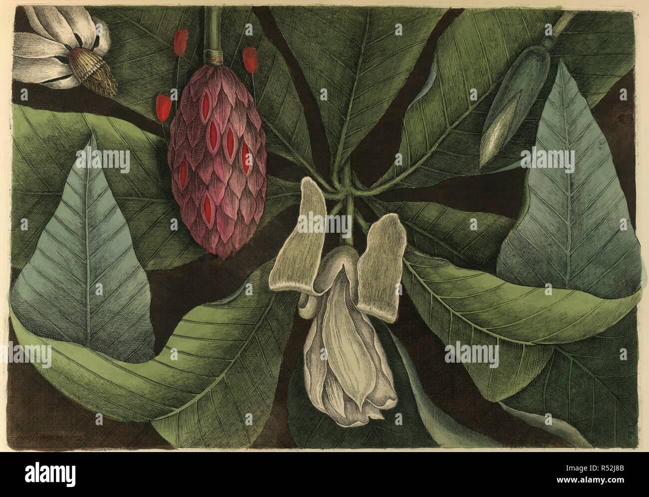 Magnolia  The umbrella tree  The Natural History of Carolina
