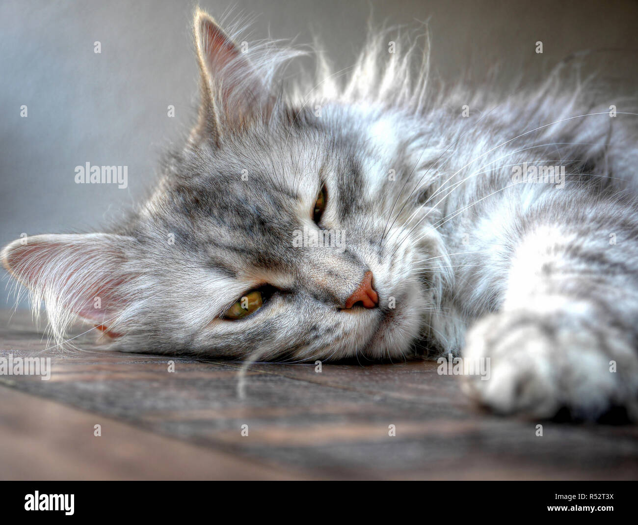Portrait of a siberian cat sleeping on a table Stock Photo