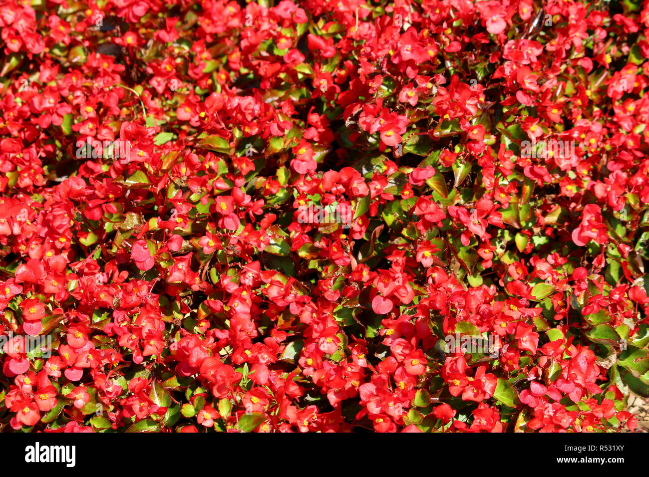 Begonia plants texture background with green to reddish brown leaves and bright red flowers with yellow center growing in form of dense shrub - Stock Image