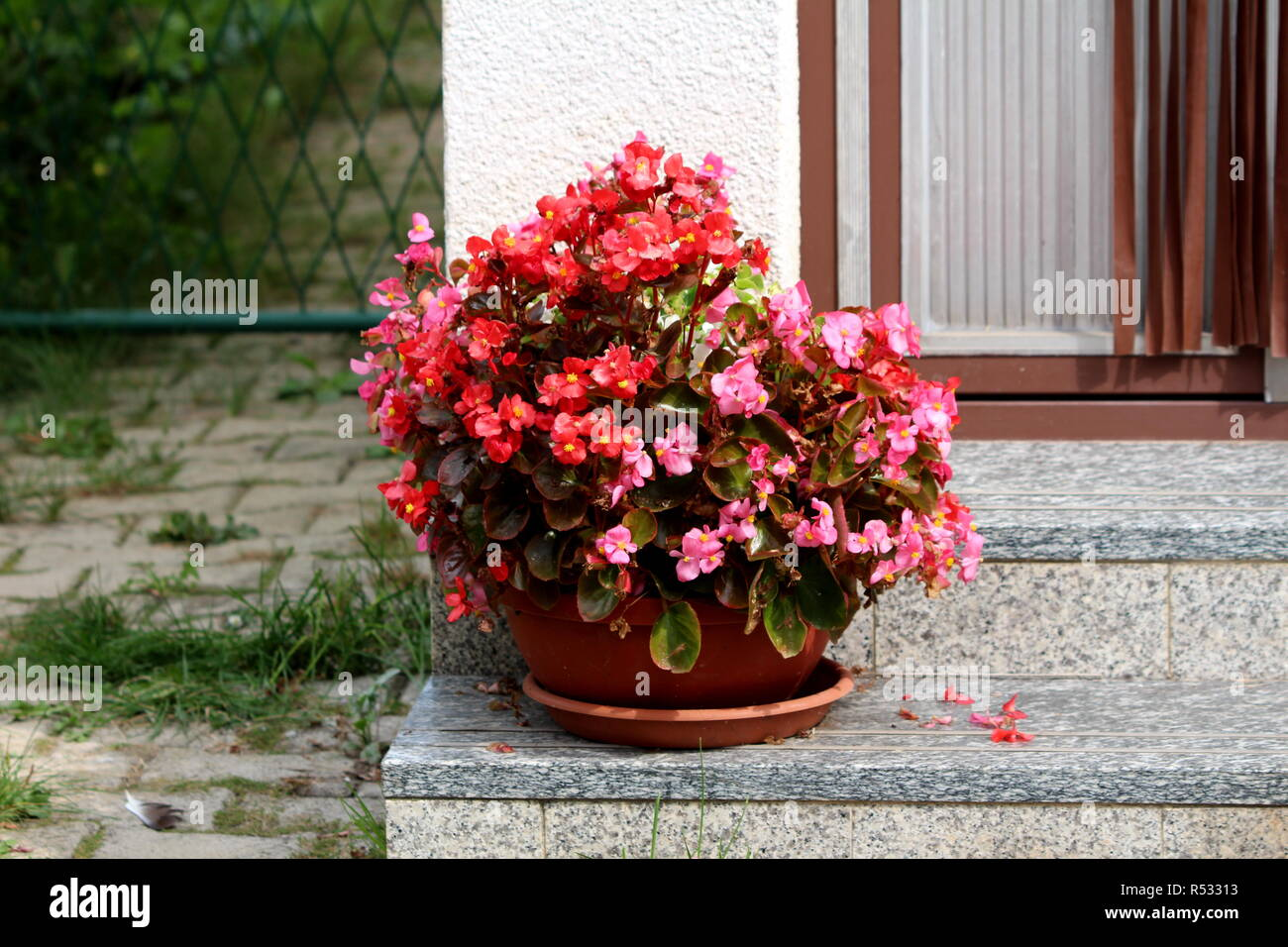 Flower pot with Begonia plants with green to reddish brown leaves and bright red and violet flowers with yellow center on marble steps - Stock Image