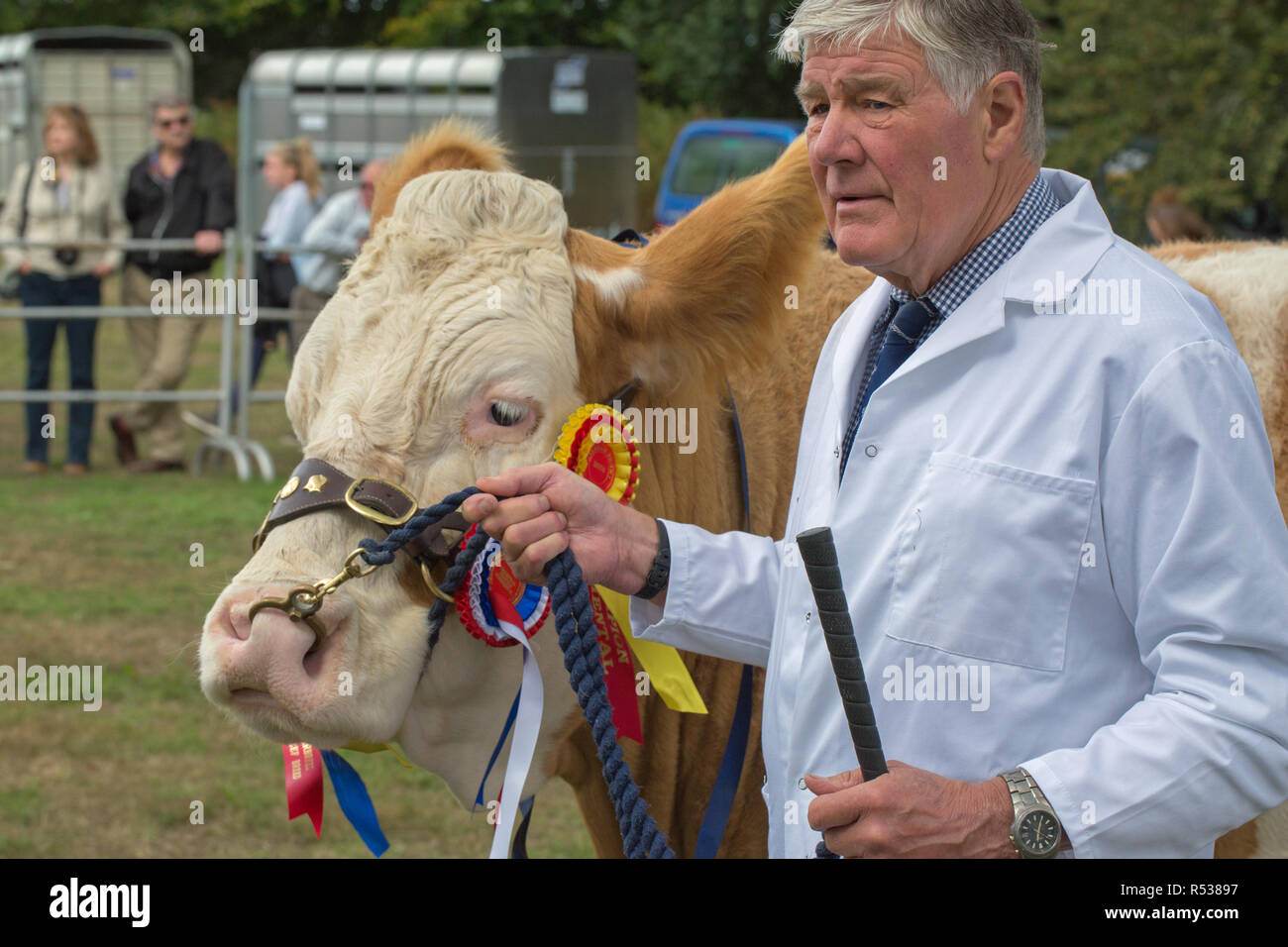 Stockman holding Simmental, Prize-winning pedigree cow after leaving the ring for photographers. Aylsham Show. Norfolk. - Stock Image