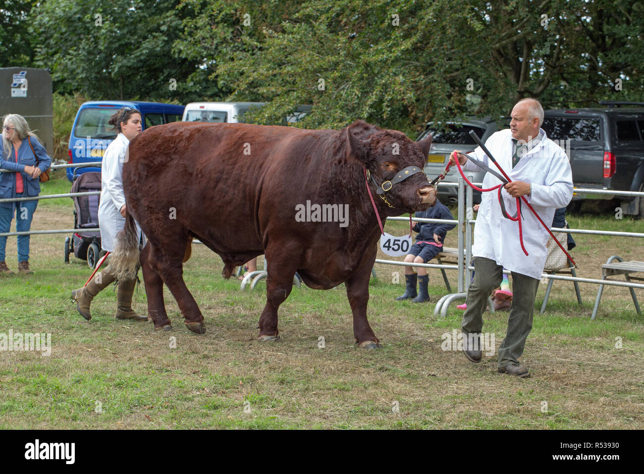 Lincoln Red Bull being led to the show ring by nose ring and flat leather halter by stockman and assistant, stock stick in hand. - Stock Image