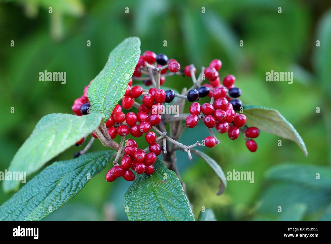 Leatherleaf viburnum or Viburnum rhytidophyllum vigorous coarsely textured evergreen shrub plant cluster of bright red and black berries - Stock Image
