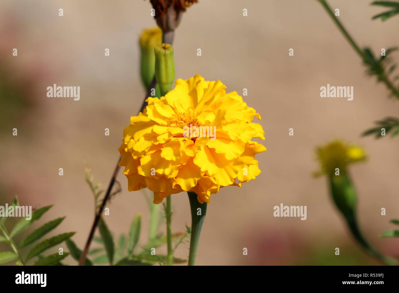 Mexican marigold or Tagetes erecta or Aztec marigold or African marigold or Big marigold herbaceous annual plant with large flowerhead - Stock Image