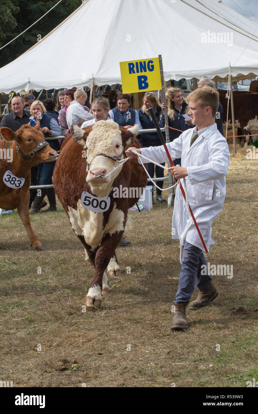 Hereford Cow being introduced to show ring for judging by stockman handler. Aylsham Show. Norfolk. (Bos taurus). Beef breed. - Stock Image