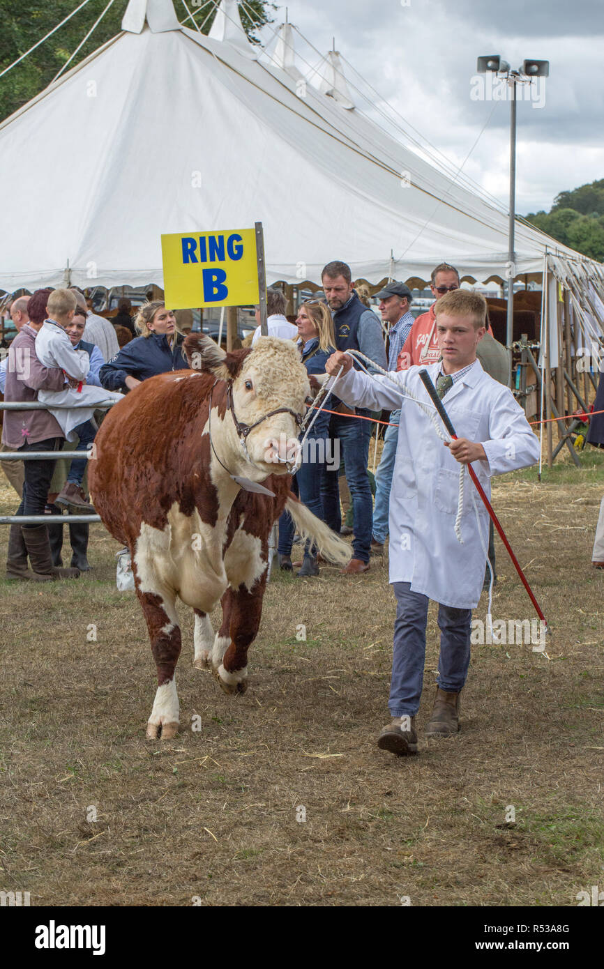 Hereford Cow being introduced to show ring for judging by stockman handler. Aylsham Show. Norfolk. - Stock Image