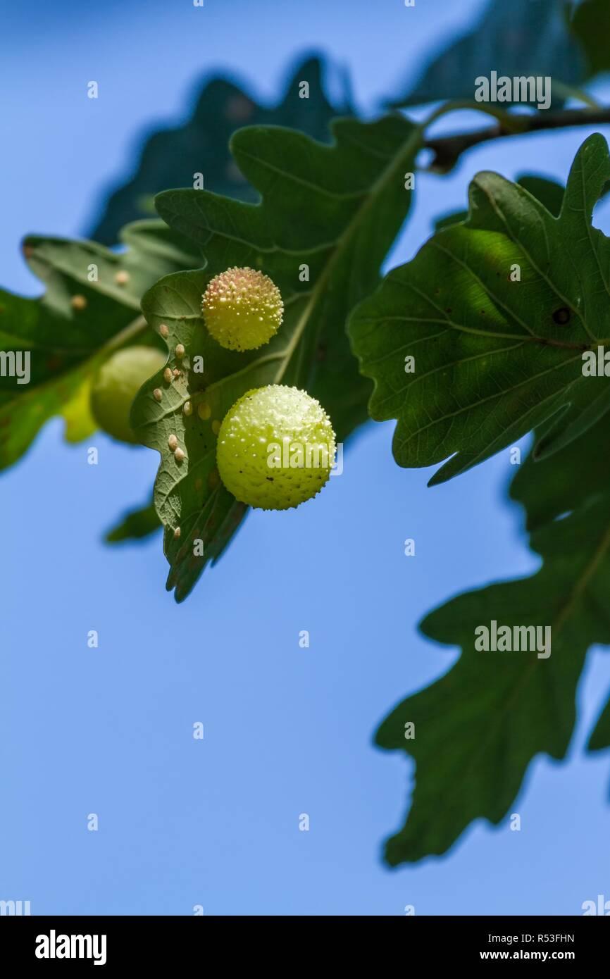 gall on a oak leaf Stock Photo