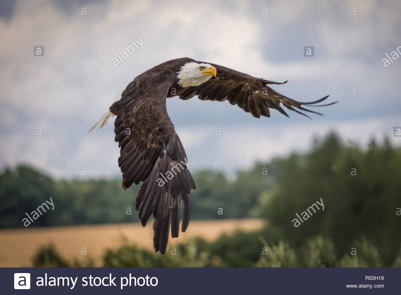 eagles have very large, hooked beaks for ripping flesh from their prey, strong, muscular legs, and powerful talons. The beak is typically heavier than Stock Photo