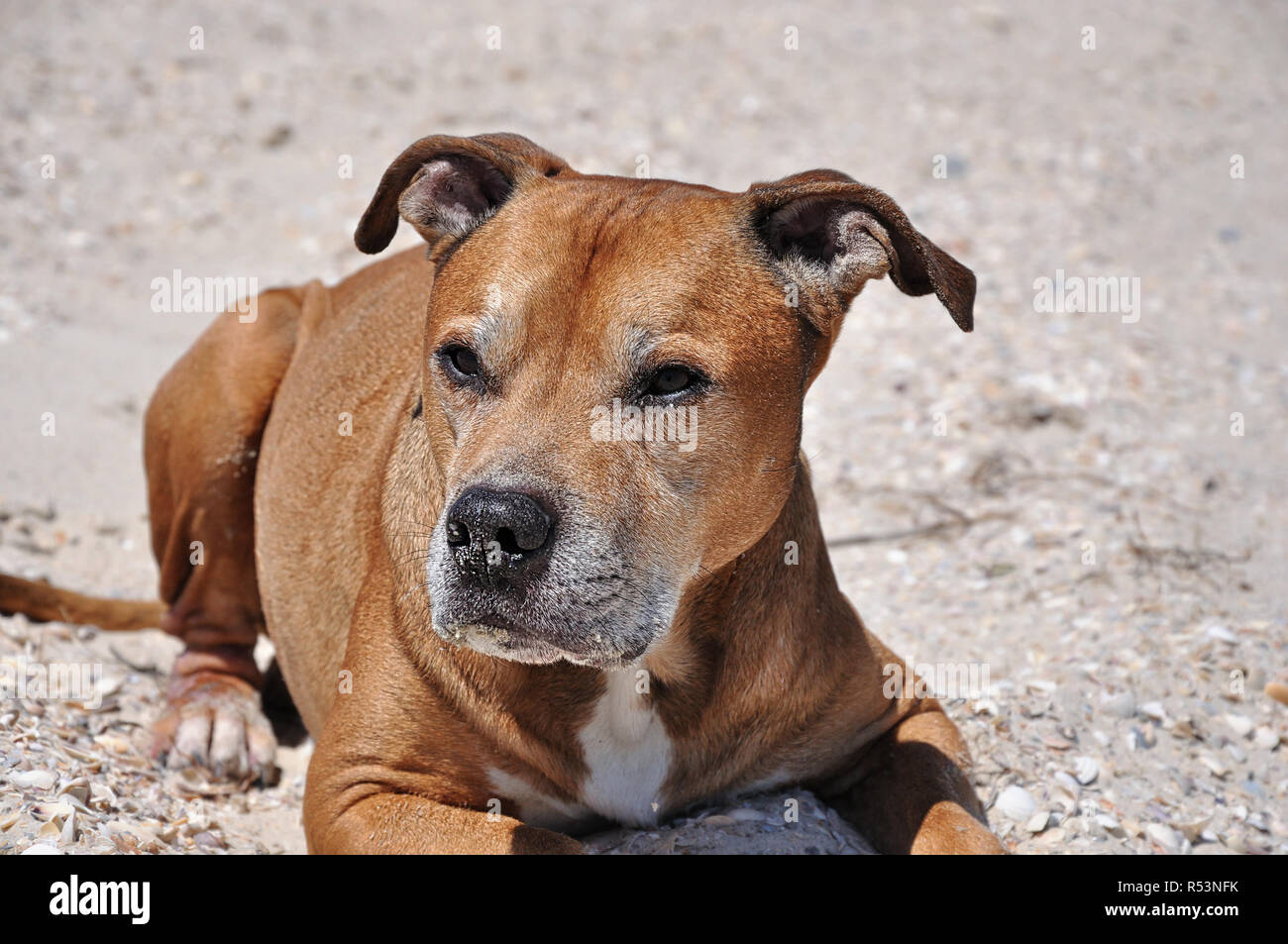 Redhead American pit bull terrier Stock Photo