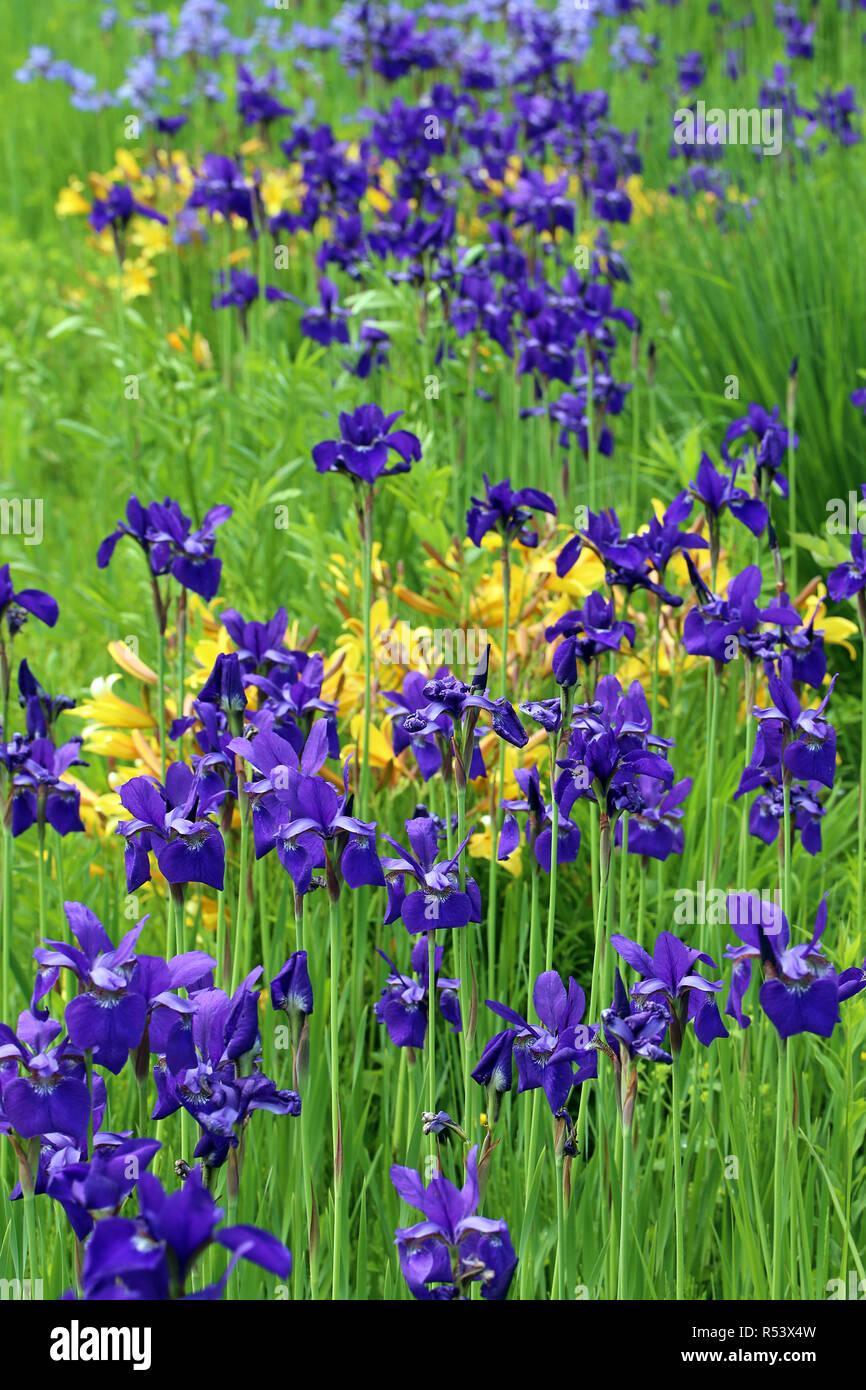 Sibirische Schwertlilie White Swirl Iris sibirica