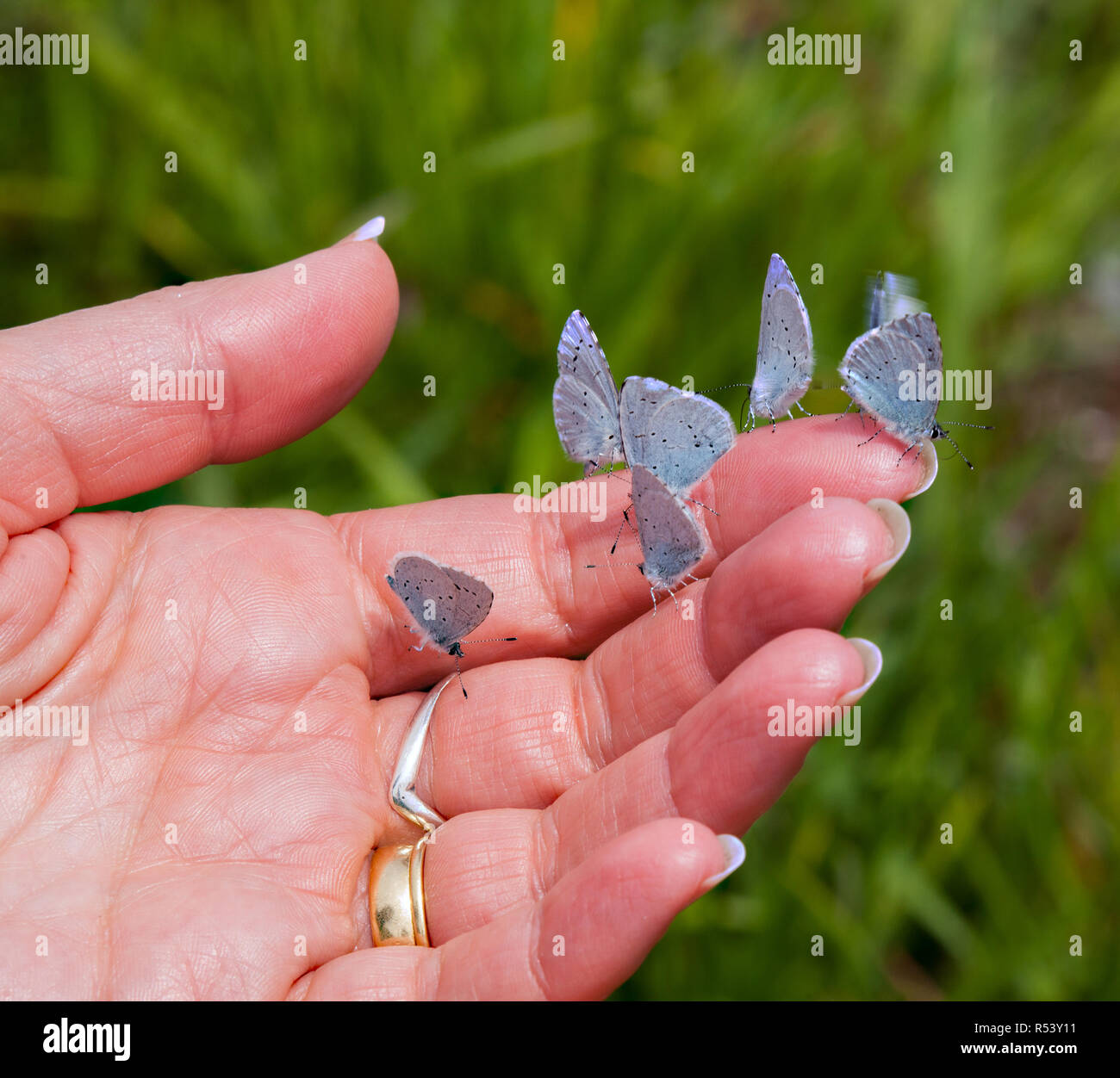 Woman person with 6 blue butterflies on her hand taking salts and nutrients from the skin - Stock Image