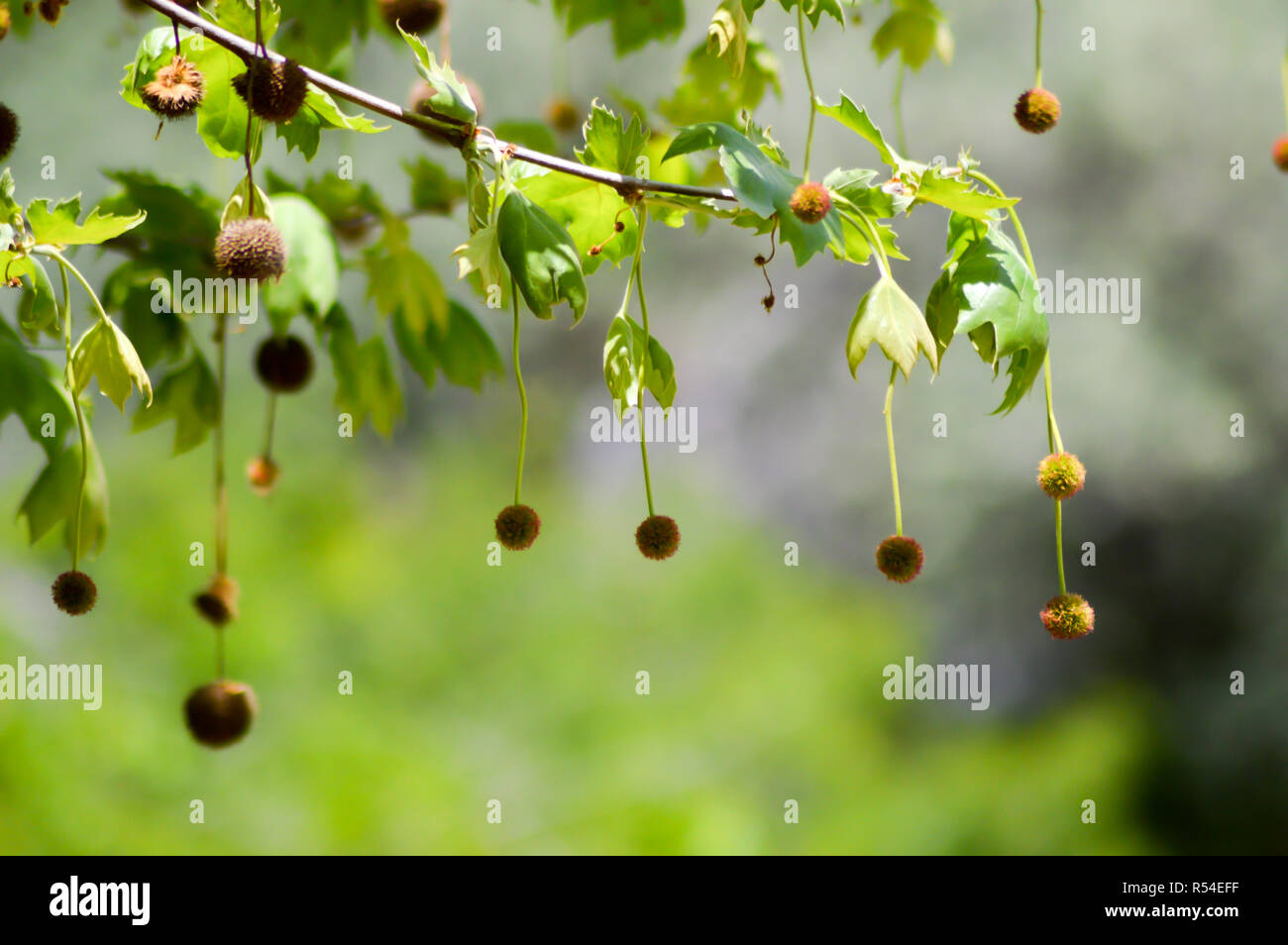 Chestnuts hanging from branches Stock Photo