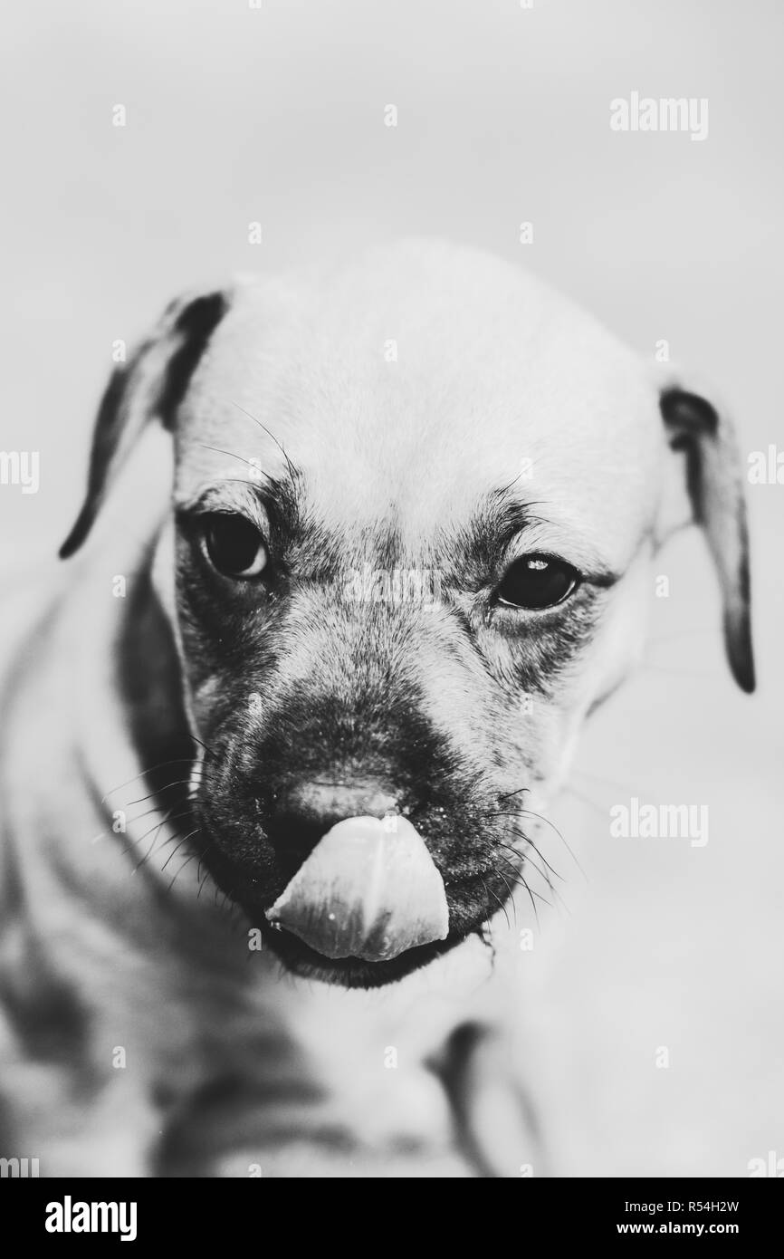Black white photograph of an adorable American Pit Bull Terrier puppy - Stock Image