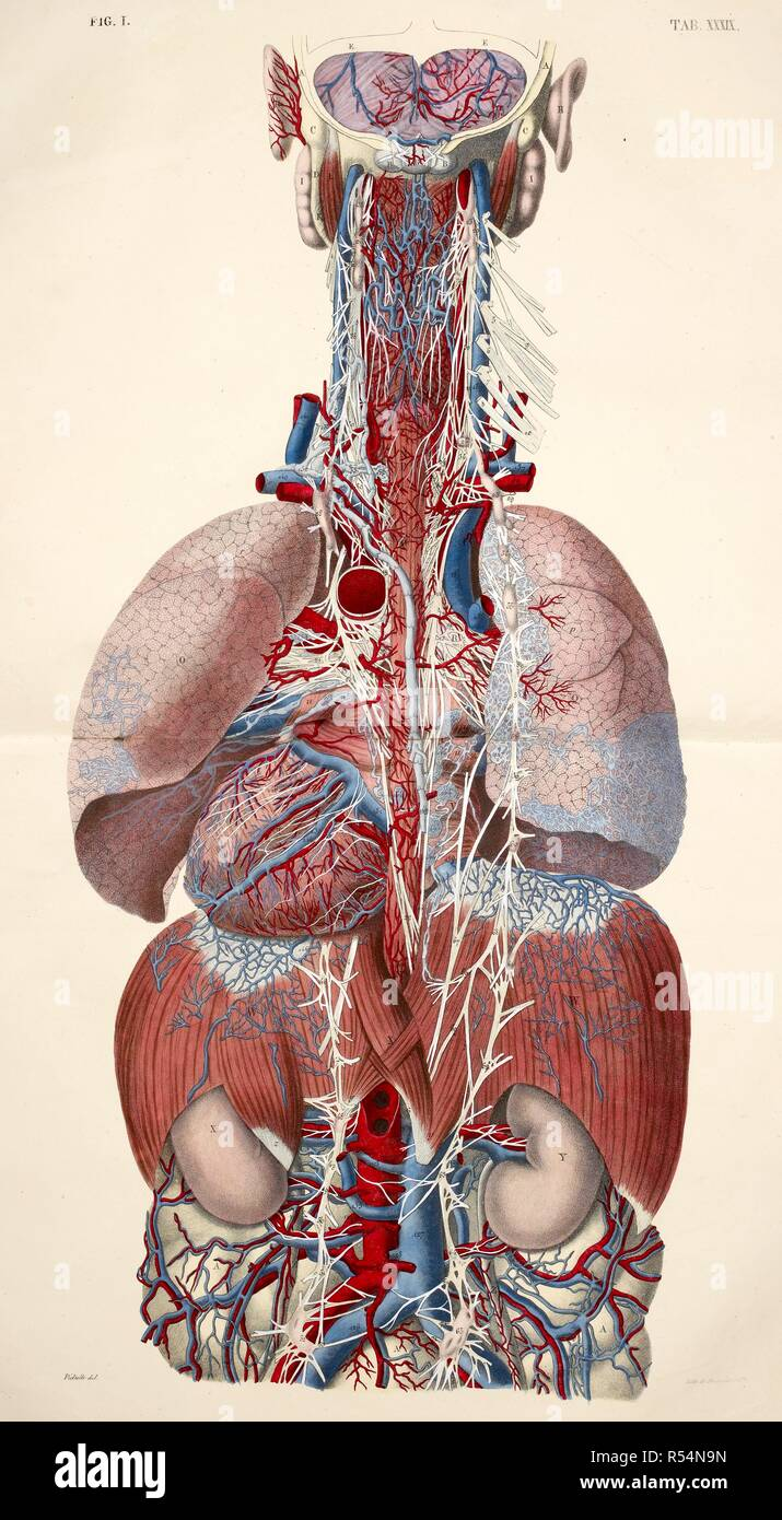 Heart Tissues Stock Photos Heart Tissues Stock Images Alamy