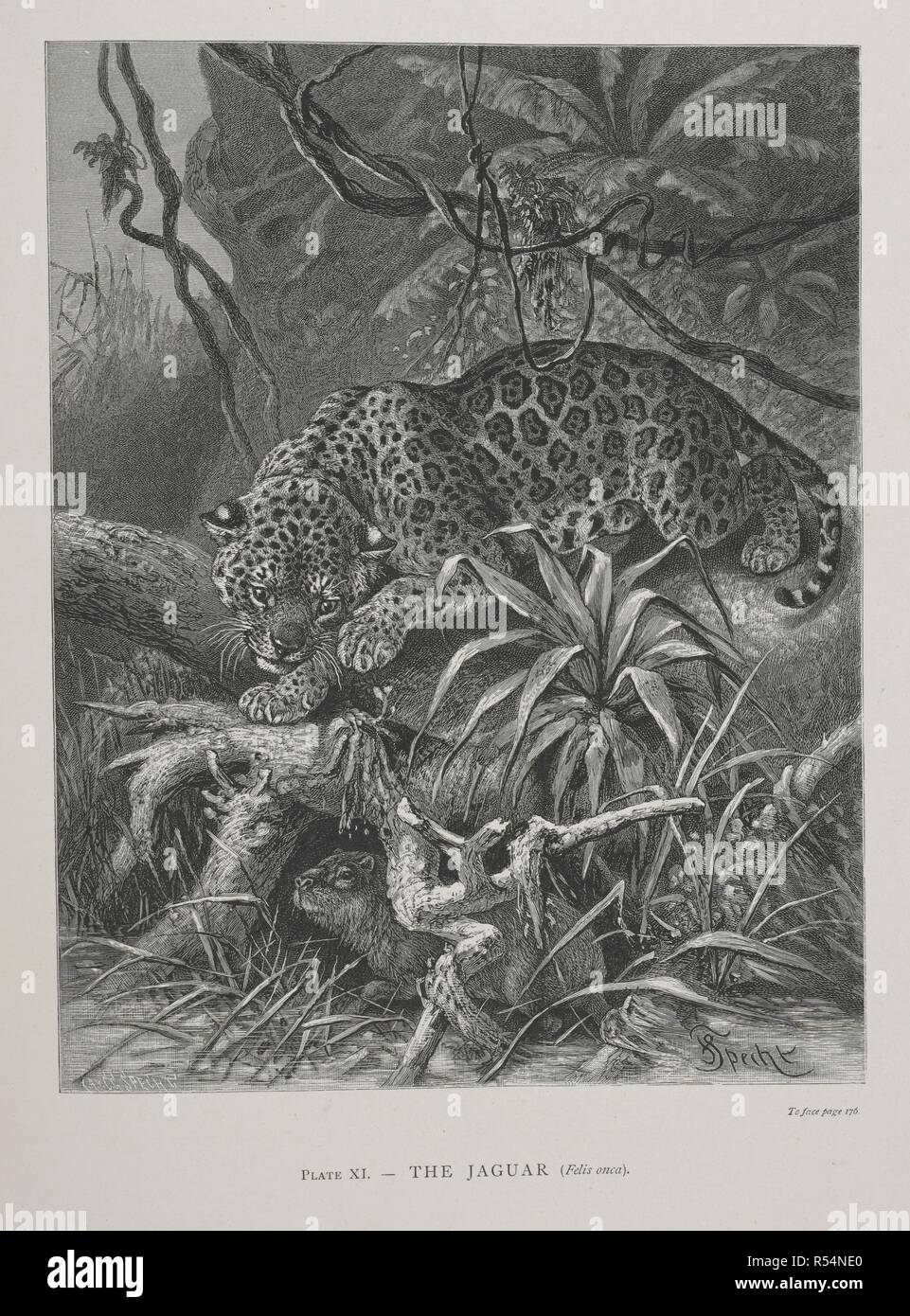 The Jaguar. The Geographical Distribution of Animals, with a study of the relations of living and extinct faunas as elucidating the past changes of the earth's surface. ... . London, 1876. Source: 07209.dd.1 plate XI. Author: WALLACE, ALFRED RUSSEL. - Stock Image