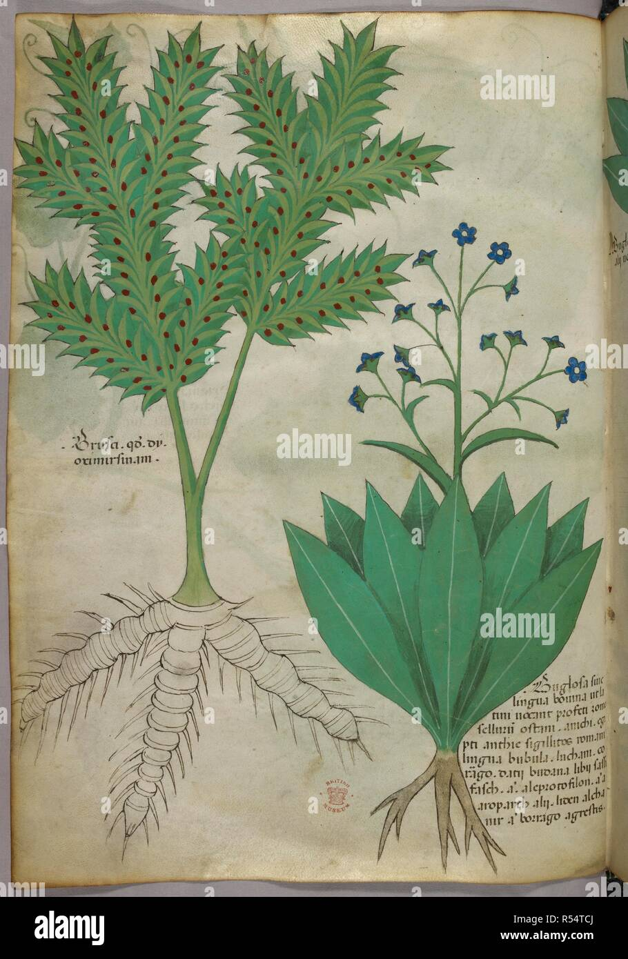 Botanical Illustration Herbal Italy N Lombardy Herbal