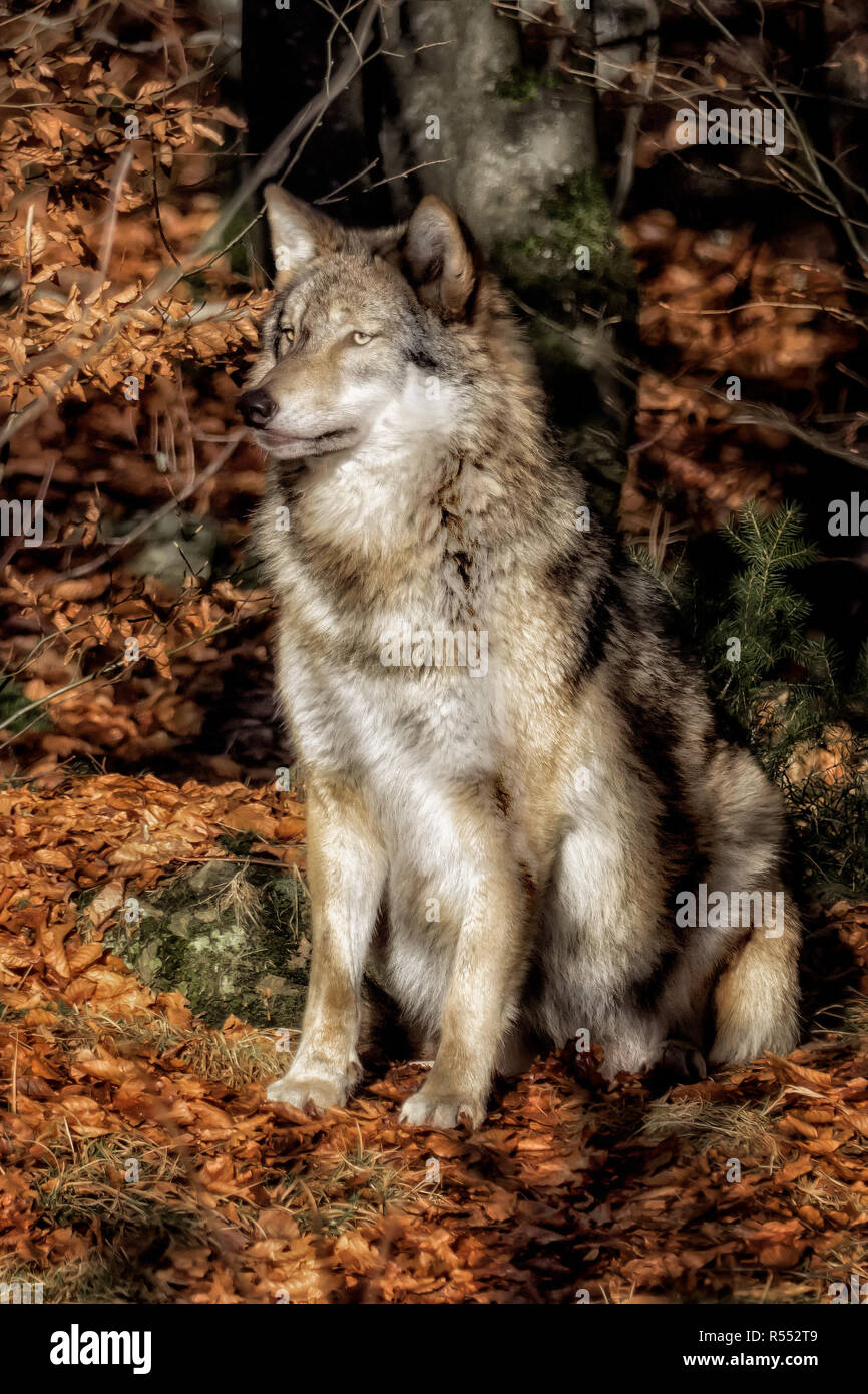 Sitting wolf in the forest and waiting - Stock Image