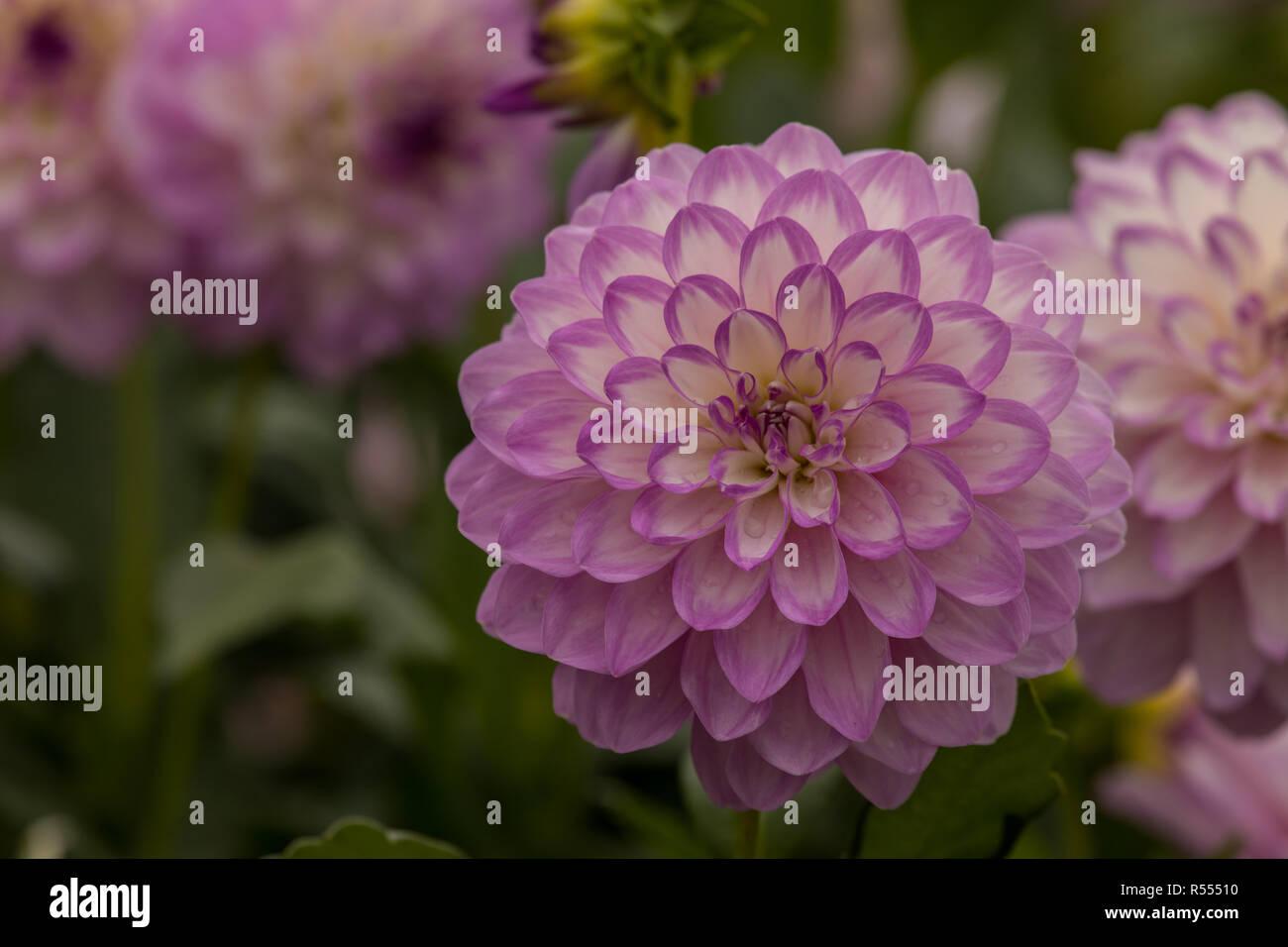Blumeninsel Mainau - Stock Image