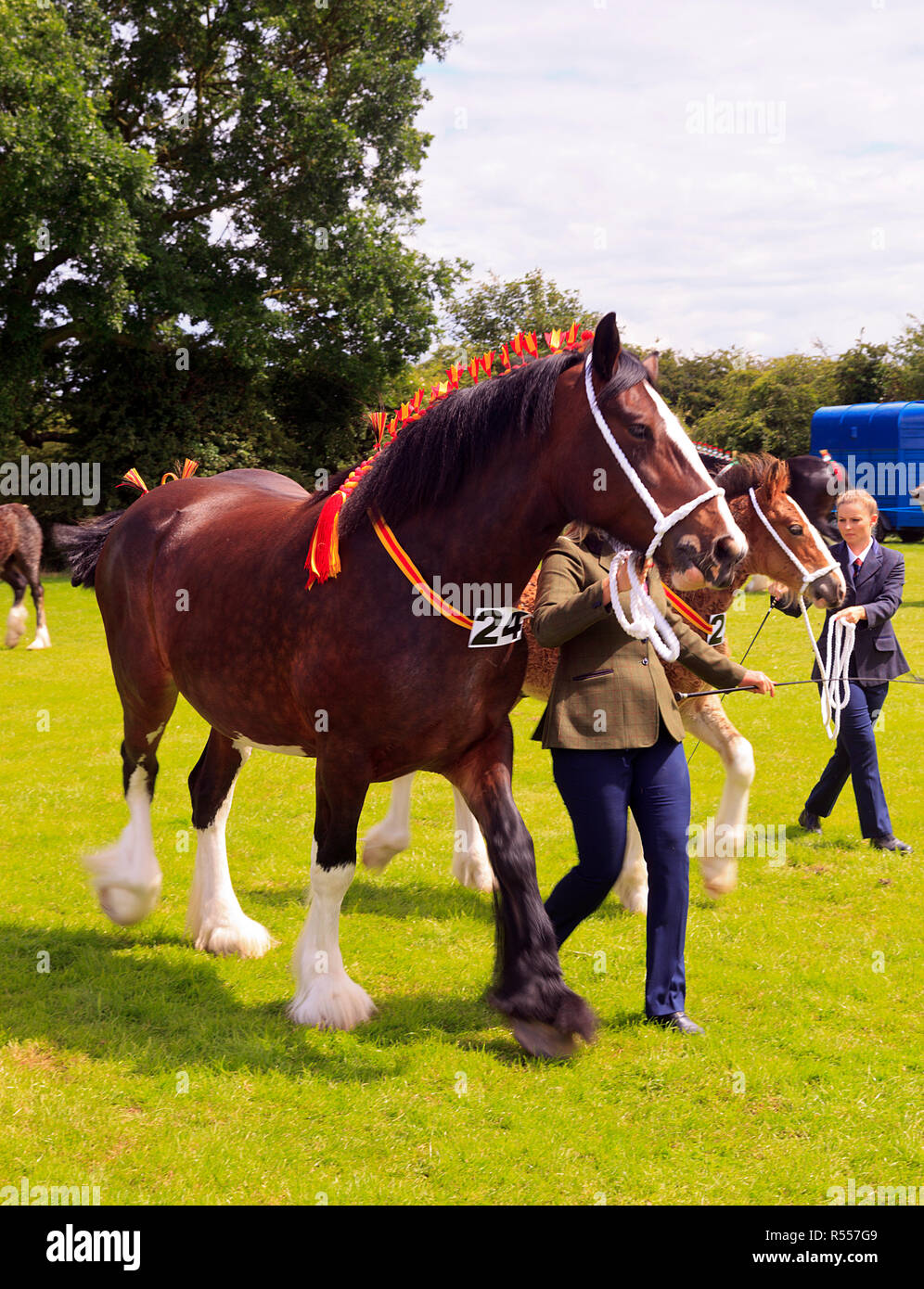 Heavy Horses in the parade ring with handlers at the Wrangle Country Show Lincolnshire - Stock Image