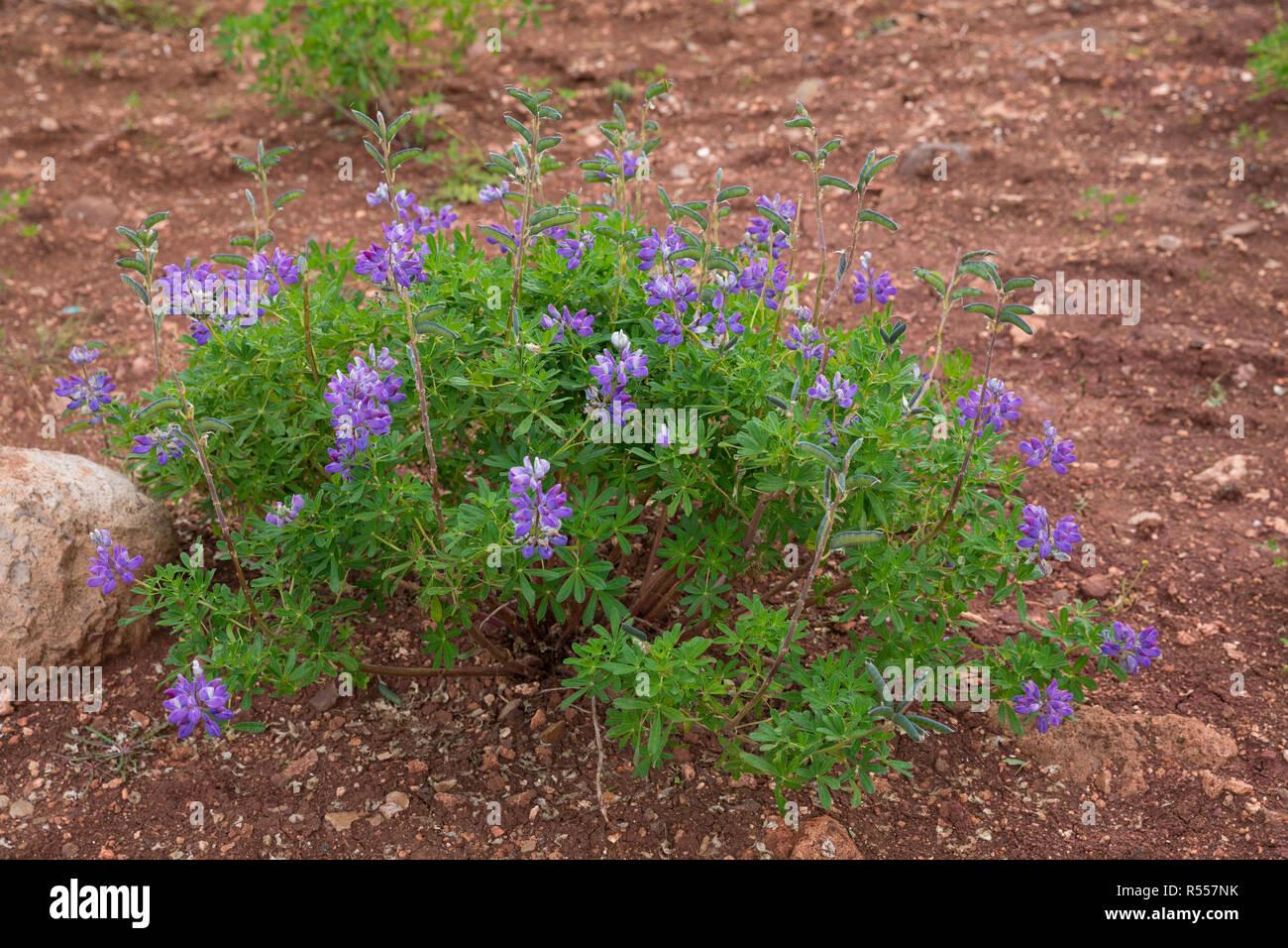 Alaska-Lupine, Alaskalupine, Lupinus nootkatensis, Nootka lupine, Nootka lupin, Blue Lupine Stock Photo