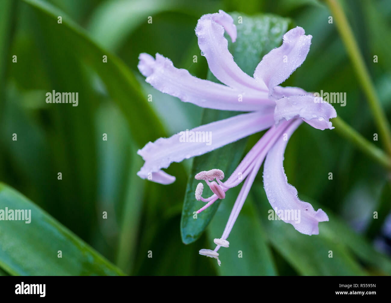 A macro shot of a single pink nerine bloom. - Stock Image