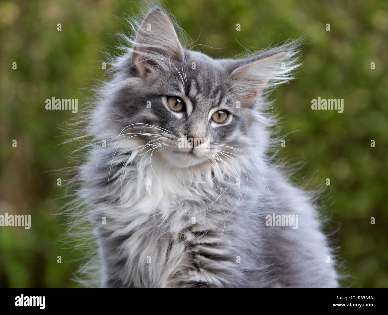 Norwegian Forest Kitten High Resolution Stock Photography And Images Alamy