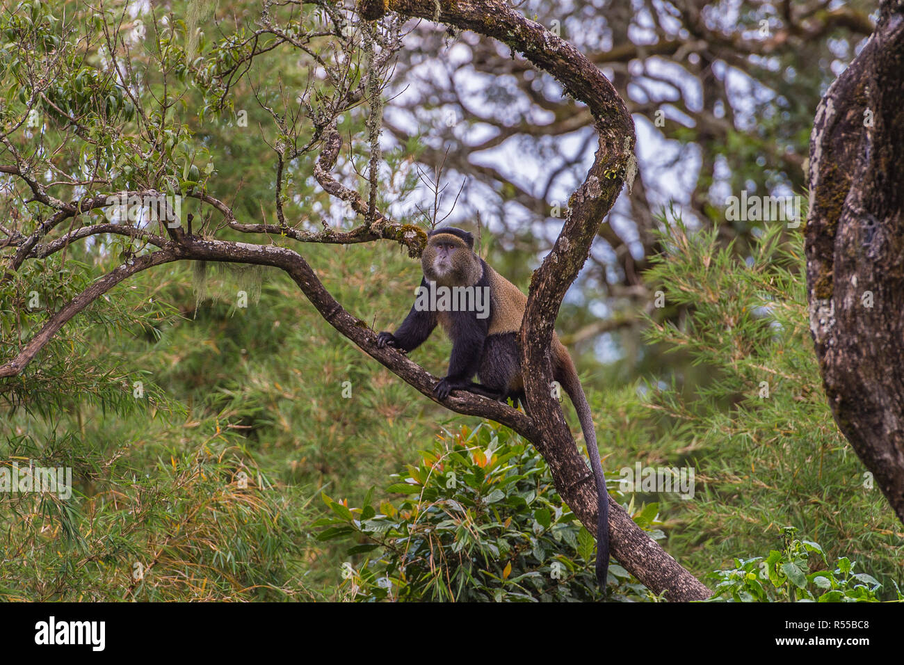 Golden Monkey,  Virunga volcanic mountains, Central Africa - Stock Image