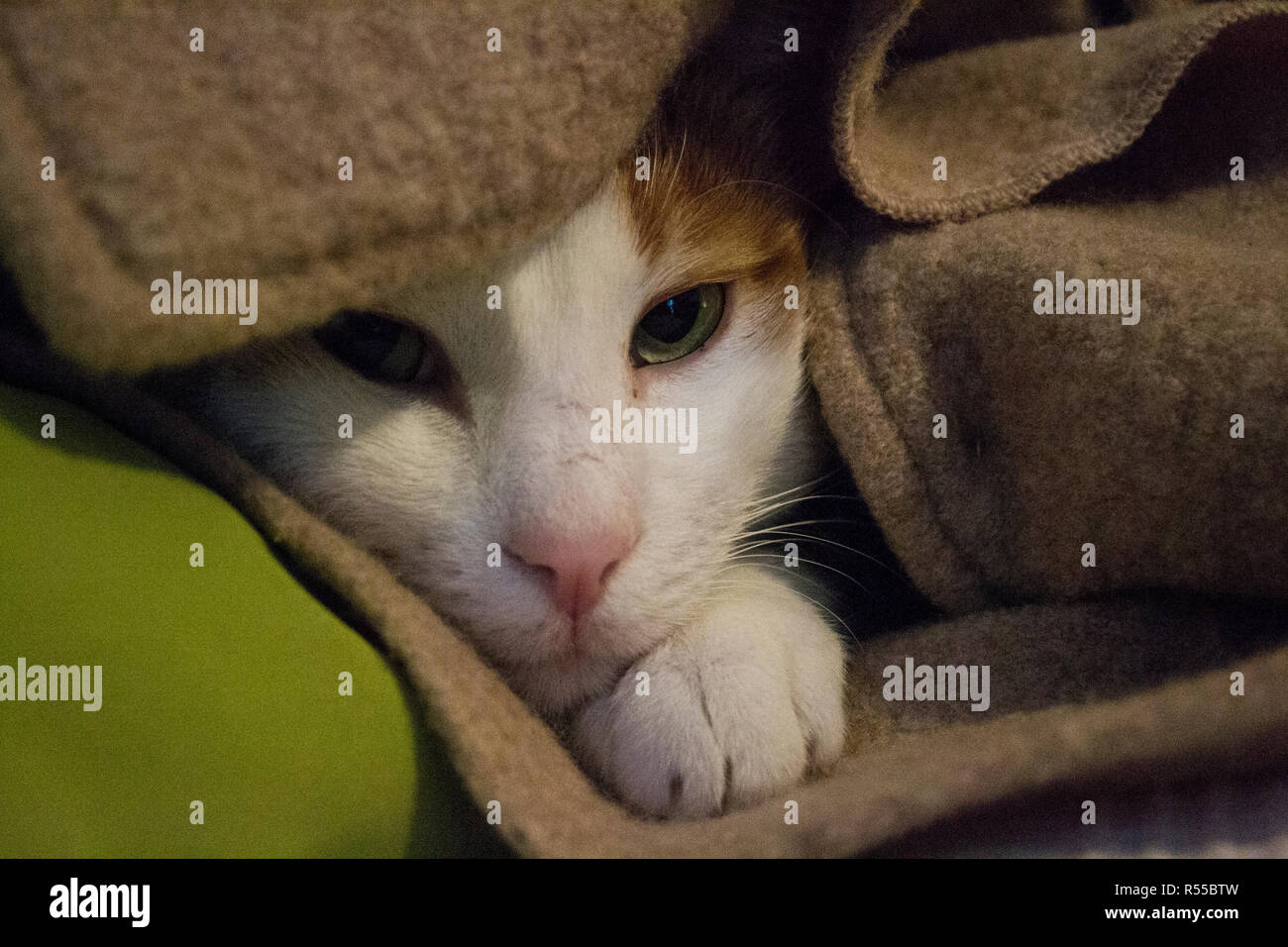 Artur, our cat is hiding in the beige wool jacket - Stock Image