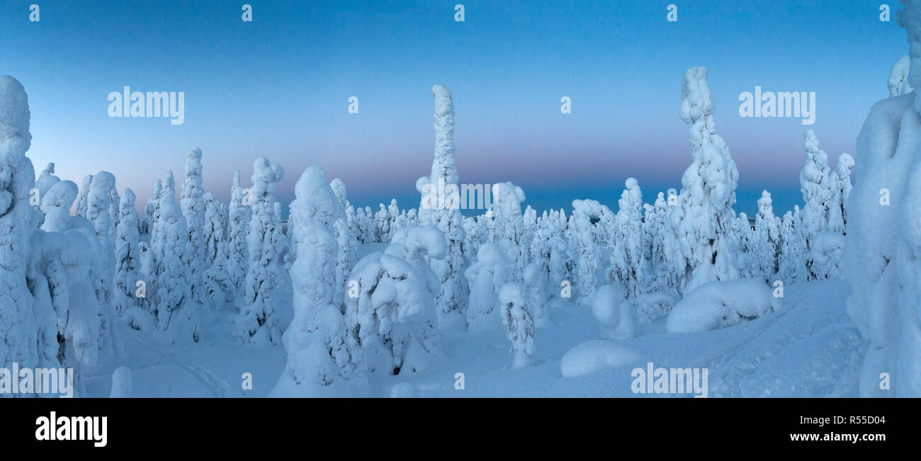 A panorama of Tykkylumi spruce standing in the deepening gloam on a mountaintop near to Ruka. Stock Photo