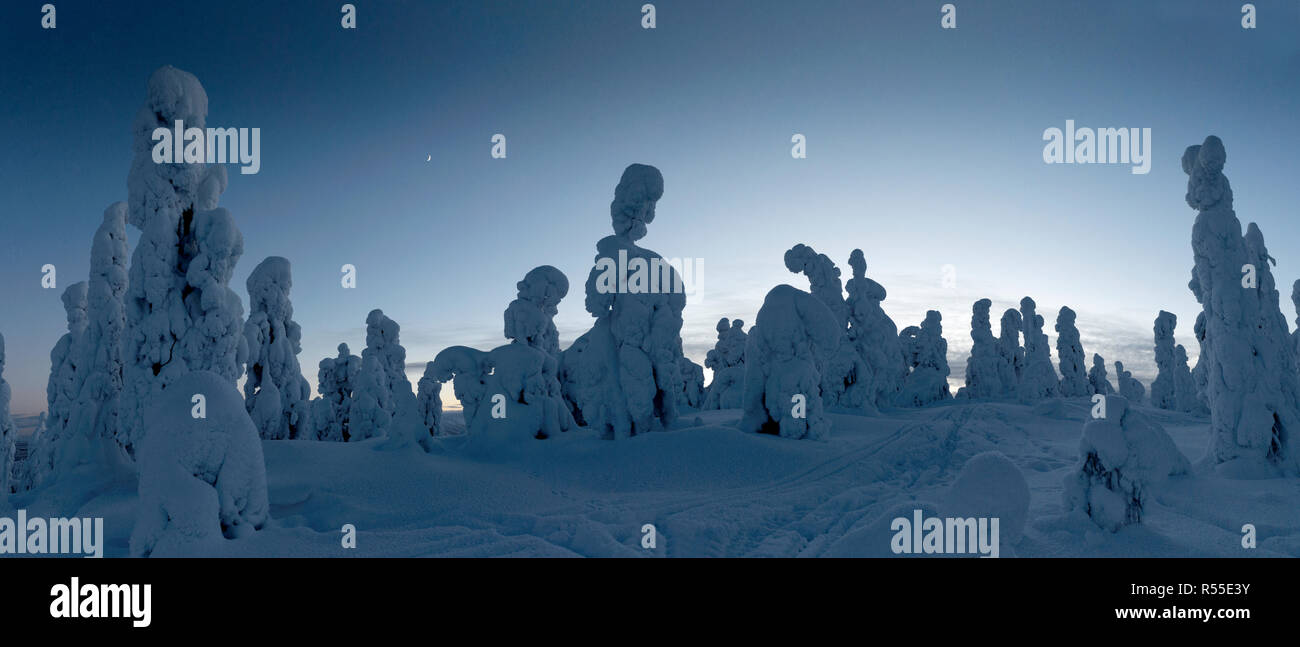 Monolithic Tykkylumi spruce stand watch under the deepening night sky, standing on a mountain top near to Ruka. Stock Photo