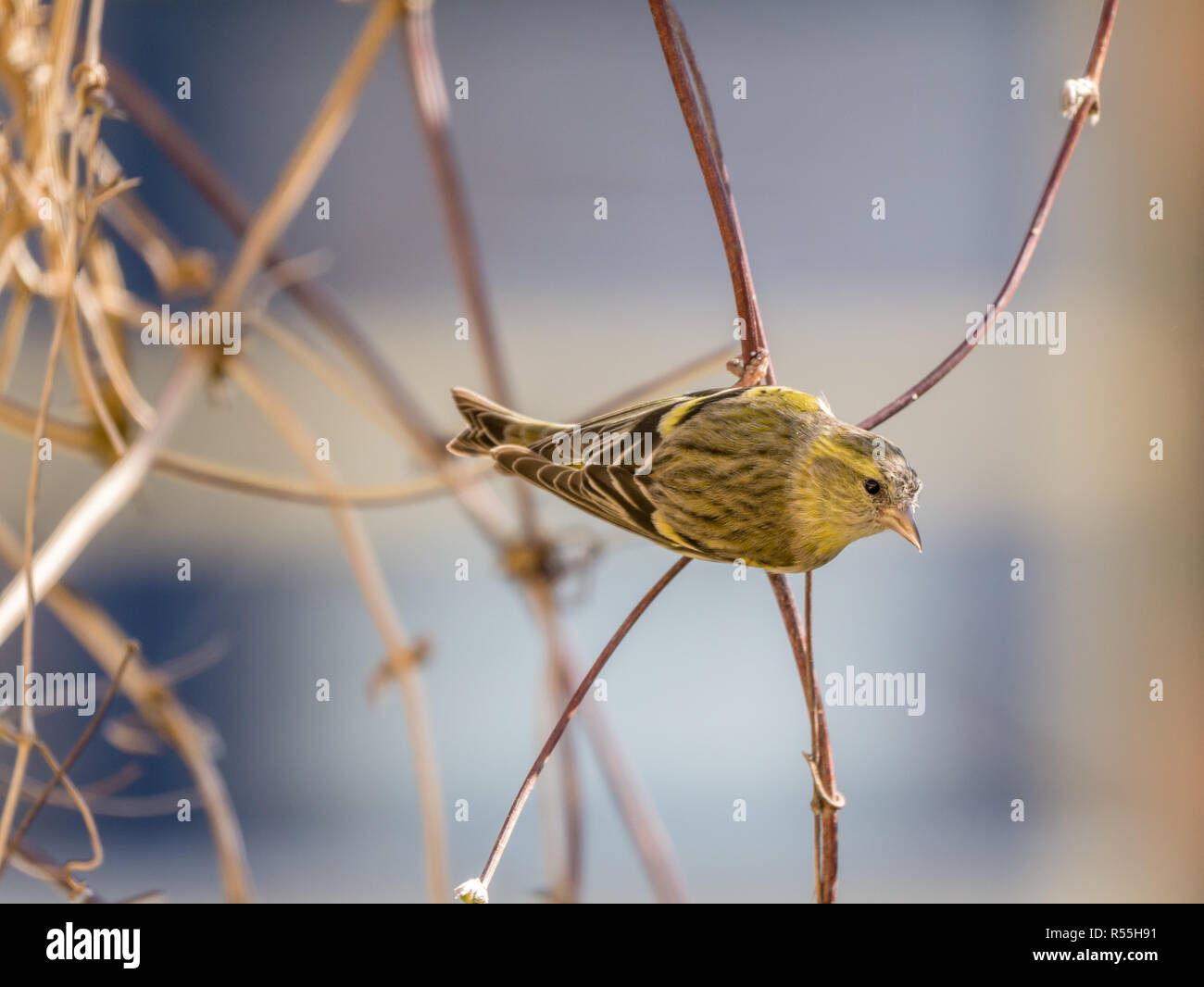 Portrait of adult male Eurasian siskin, Spinus spinus, sitting on twig in garden, Netherlands Stock Photo