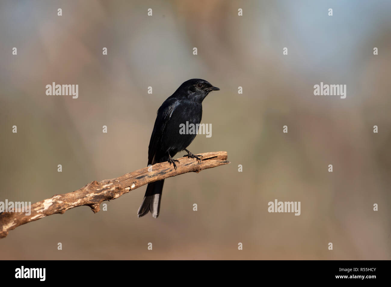 Southern Black Flycatcher Melaenornis pammelaina perching on a bare tree branch with a diffuse background - Stock Image