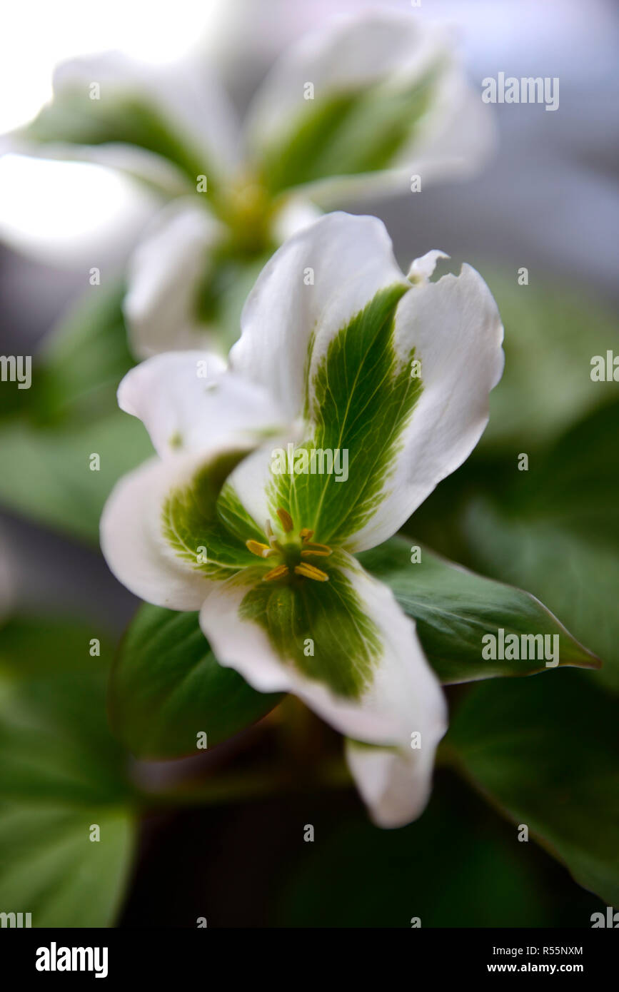variegated trillium grandiflorum,variegation,oddity,mutant,flower,flowers,flowering,green,white,shade,wood,woodland,plant,RM Floral - Stock Image