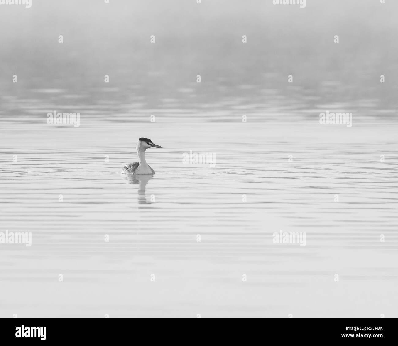Great Crested Grebe (Podiceps cristatus) foraging on a lake during a sunny and misty Autumnal morning in the UK - Stock Image