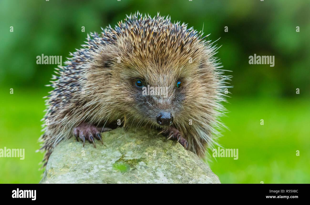 Hedgehog, Erinaceus Europaeus. Wild, native hedgehog, peering over the top of a stone.  Facing forward. Blurred background.  Landscape, Horizontal. - Stock Image