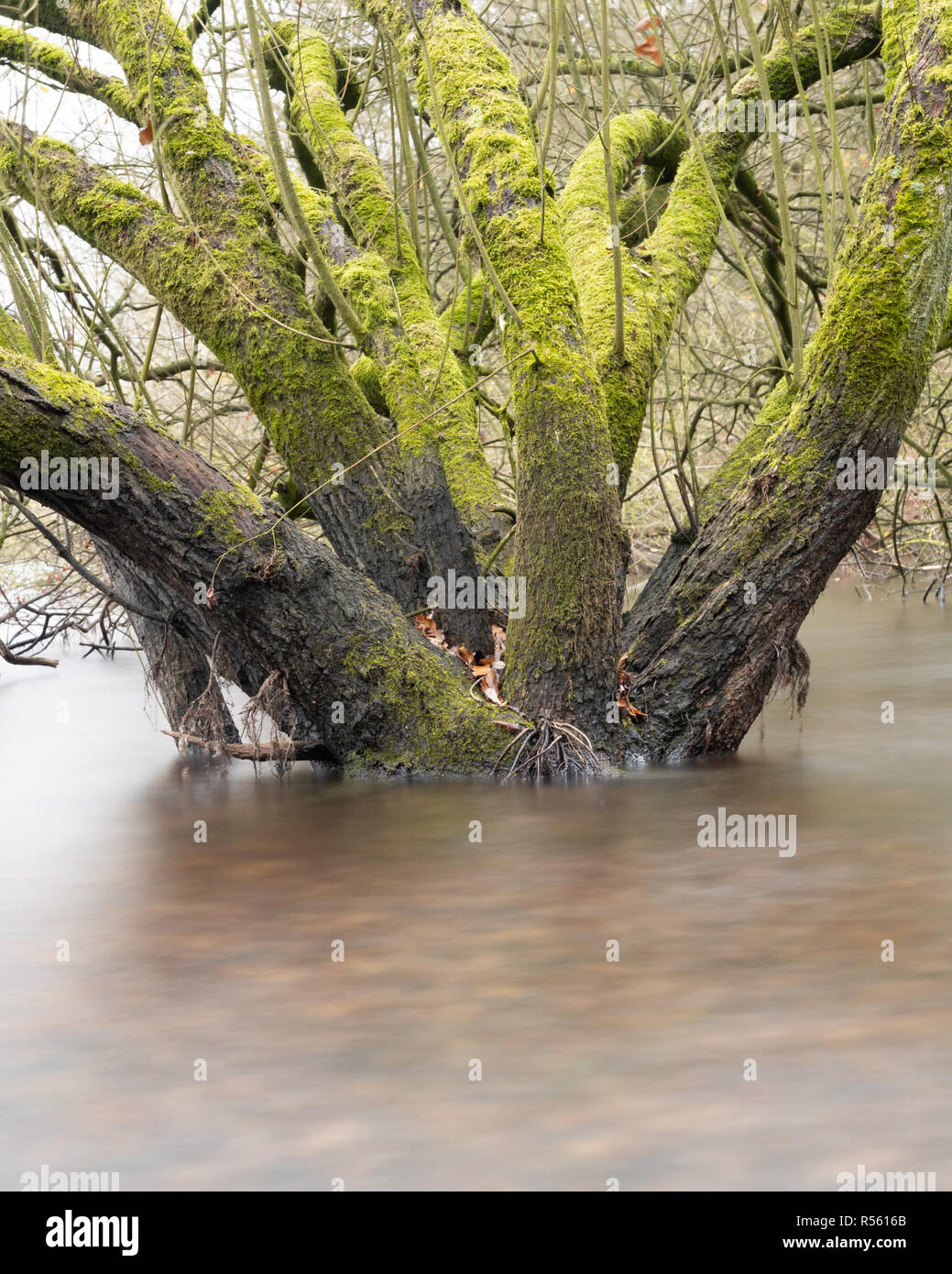 Wet Woodland - using ND filters to blur the water around the base of these flooded trees - Stock Image