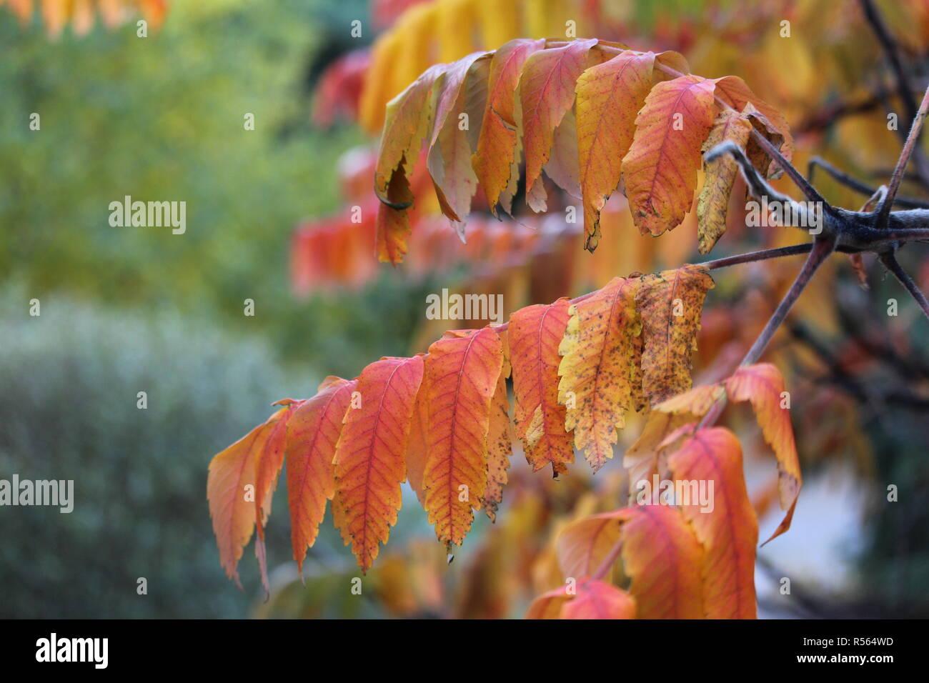 Feuille d'arbre l'automne au Québec - Stock Image
