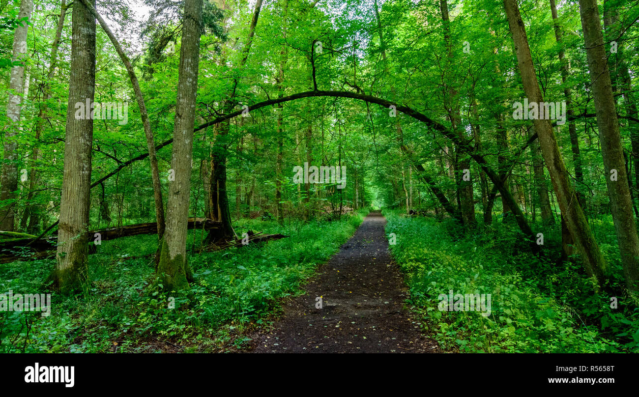 A forest track in the strictly protected area of Bialowieza National Park, Poland. July, 2017. - Stock Image