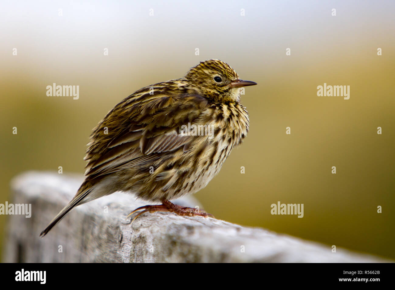 A South Georgia Pipit, the southernmost songbird in the world, only survives on rat free locations, here on Prion Island, South Georgia - Stock Image