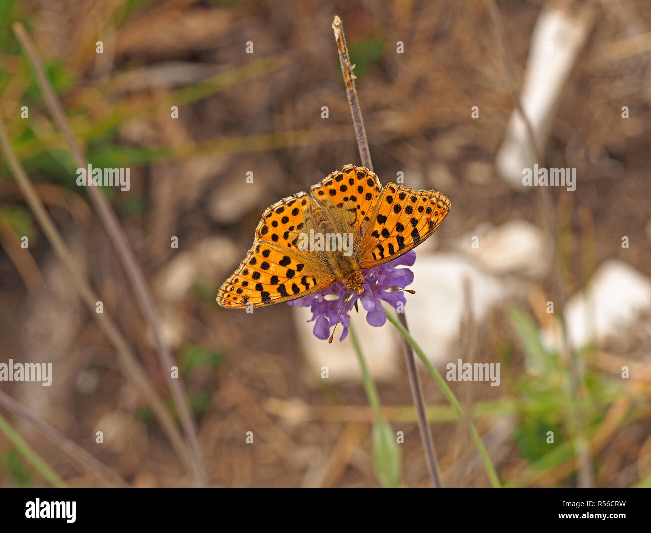 colourful orange wings with black spots of male High brown Fritillary (Argynnis adippe) feeding on lilac flower of scabious plant in Tuscany, Italy - Stock Image