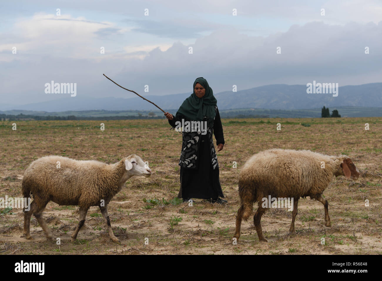 November 15, 2018 - Menzel Bouzelfa, Tunisia: Portrait of Khira Jlassi, a Tunisian grand-mother living in a rural area, as she takes sheeps to pasture. Khira Jlassi said that when her father died, she gave all her inheritance part to her brother. She now says she regrets doing so. Tunisian politicians are debating a new law to give both sexes equal inheritance rights, which would reform the current Islamic-inspired code that ensures that a man receives double a womanÕs share of an inheritance. Portrait de Khira Jlassi, une bergere tunisienne qui a donne toutes ses parts d'heritage a son frere  - Stock Image