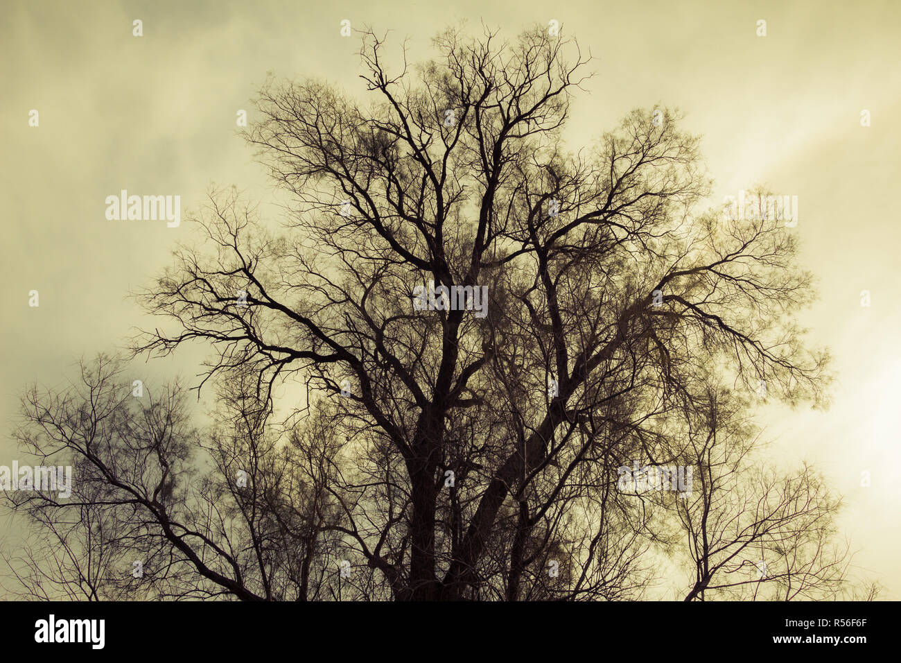 Silhouette of bare tree - yellow tone - Stock Image
