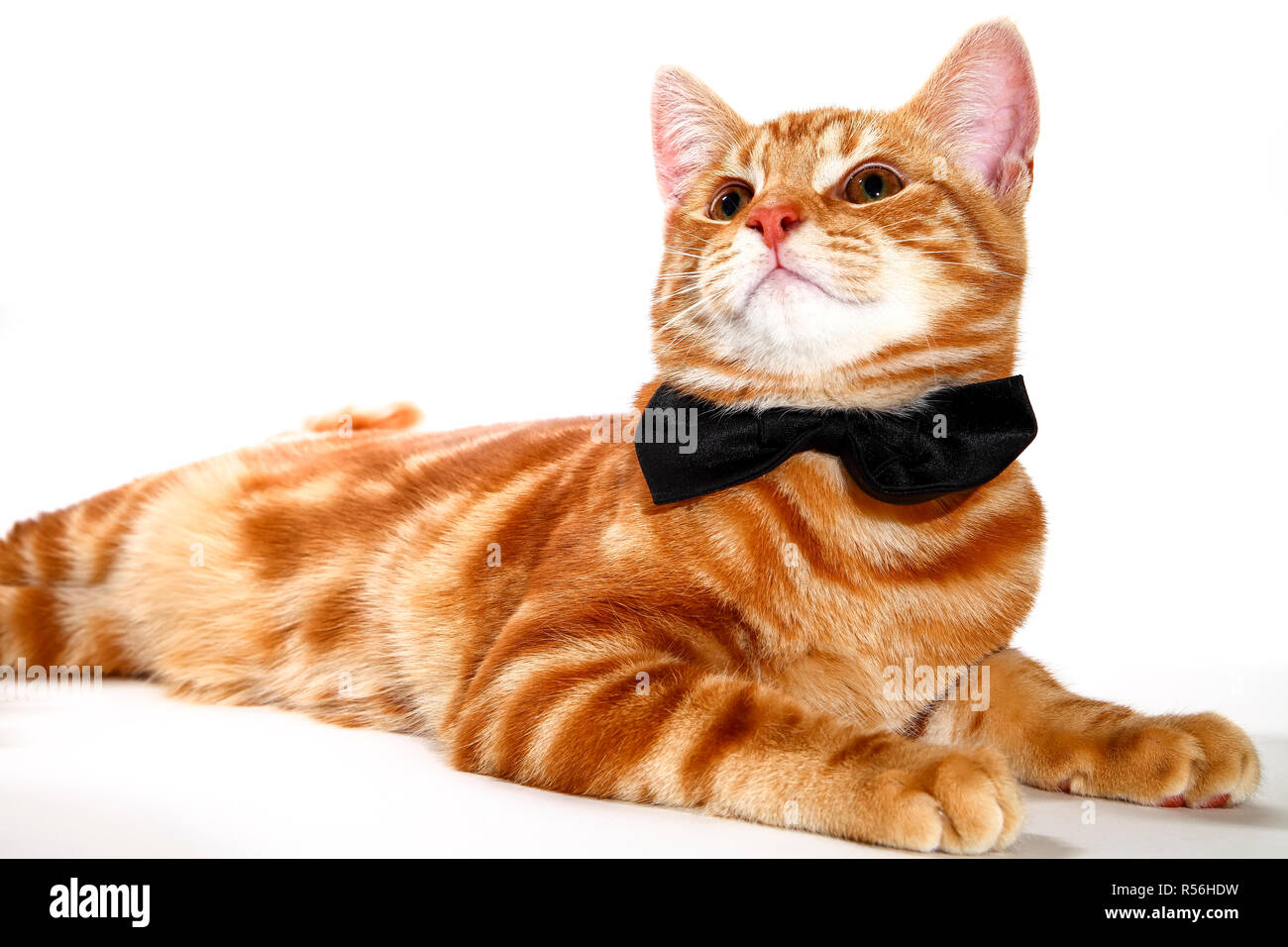 Mackerel ginger tabby kitten wearing a bow tie isolated on a white background,party animal concept - Stock Image