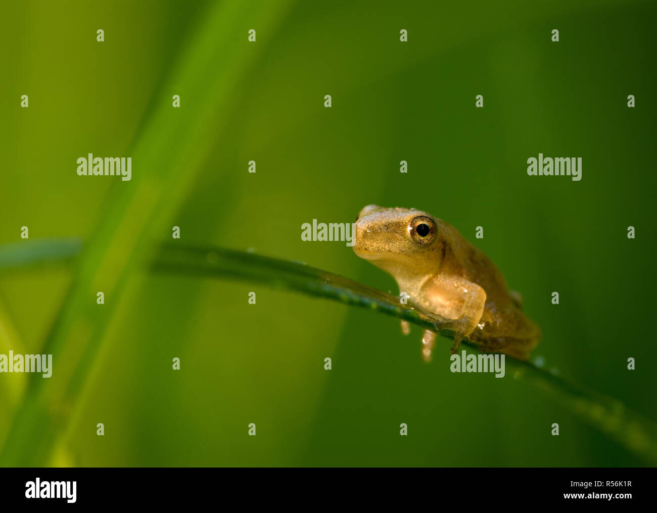 Baby spring peeper (Hyla crucifer) on dew-covered grass in swamp near Ivy Creek in Charlottesville, Virginia, USA. Frog is only 1/4 inch (6mm) long. - Stock Image