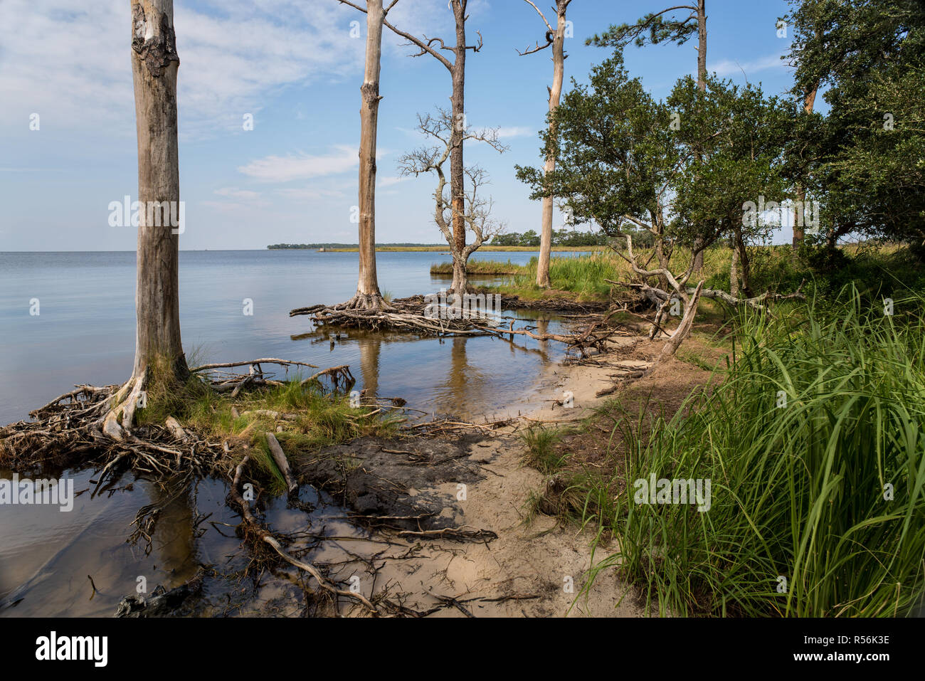 Dead loblolly pines (Pinus taeda) in the Nags Head Woods Preserve along the coast of Roanoke Sound in North Carolina. Rising sea levels, due at least  - Stock Image