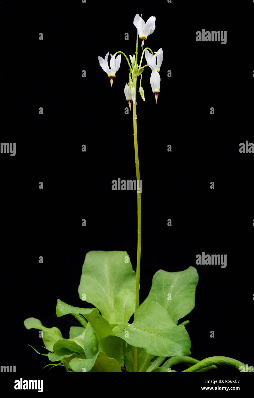 White shooting star wildflower in garden in central Virginia - Stock Image