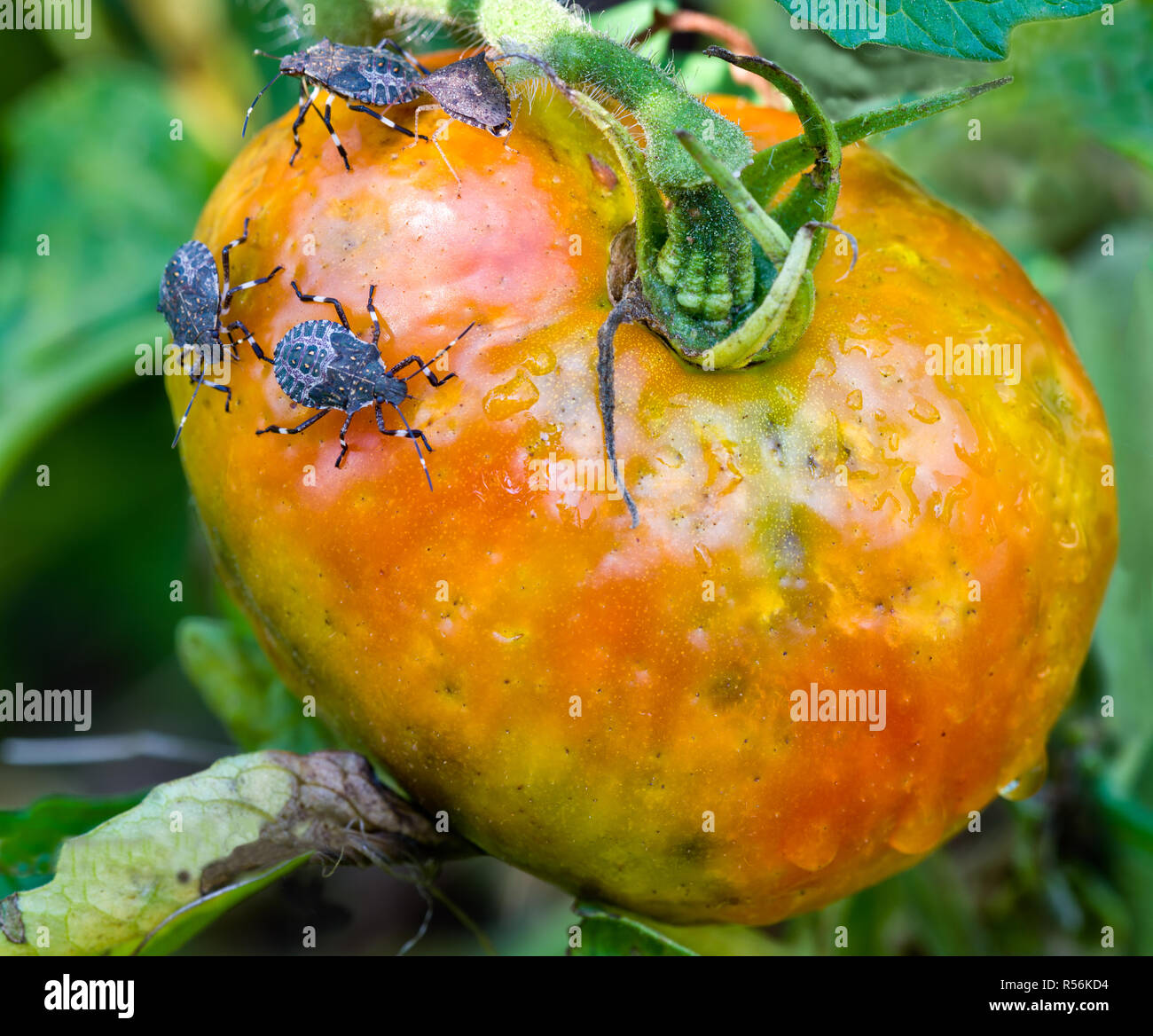 Brown marmorated stink bugs (Halyomorpha halys) feeding on garden tomato. Mottled appearance of tomato is the result of the destructive effects of the Stock Photo