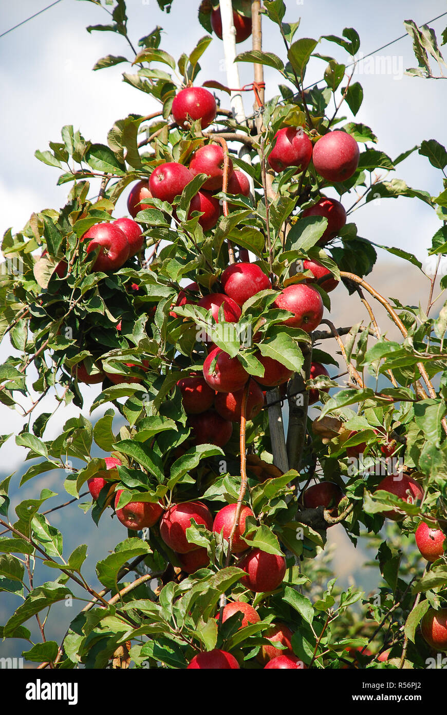Bunch of red Gala apples on a apple tree in South Tyrol, Italy. The province South Tyrol is a large producer of apples - Stock Image